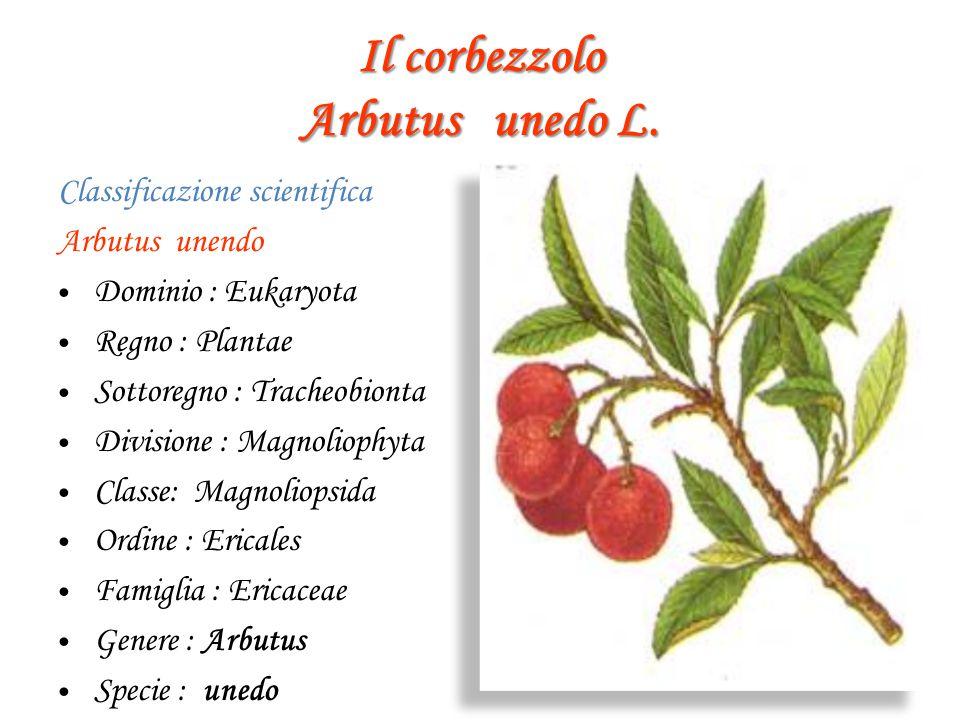 Il corbezzolo Arbutus unedo L. Classificazione scientifica Arbutus unendo D ominio : Eukaryota R egno : Plantae S ottoregno : Tracheobionta D ivisione