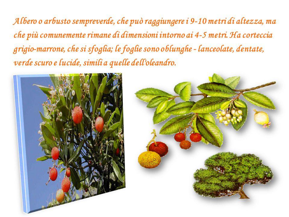 Albero o arbusto sempreverde, che può raggiungere i 9-10 metri di altezza, ma che più comunemente rimane di dimensioni intorno ai 4-5 metri.