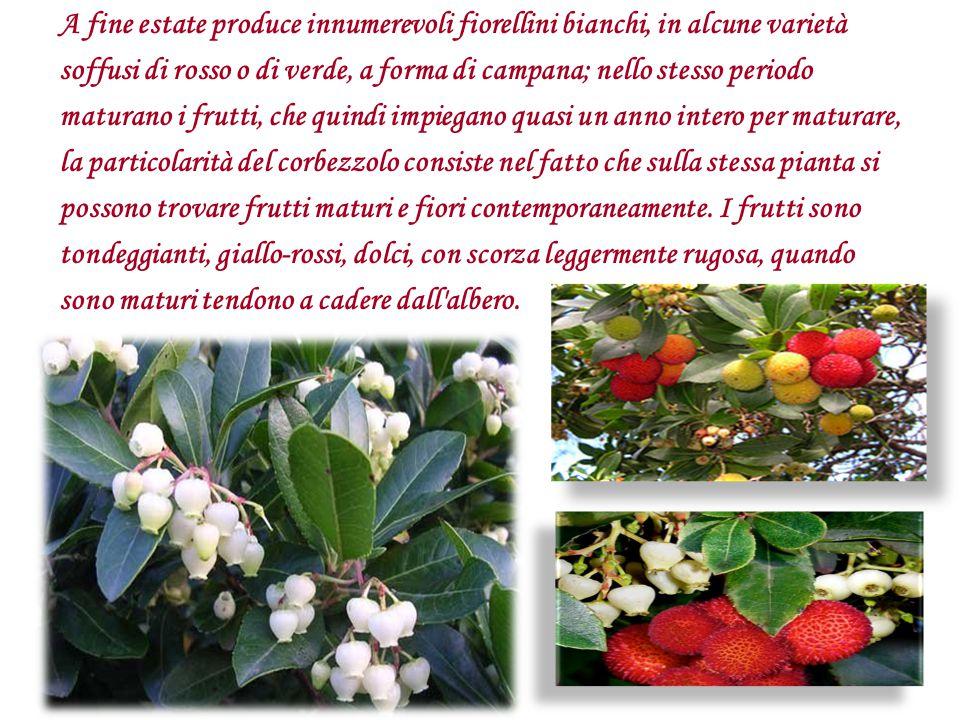 A fine estate produce innumerevoli fiorellini bianchi, in alcune varietà soffusi di rosso o di verde, a forma di campana; nello stesso periodo maturan