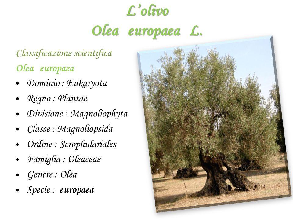 L'olivo Olea europaea L. Classificazione scientifica Olea europaea D ominio : Eukaryota R egno : Plantae D ivisione : Magnoliophyta C lasse : Magnolio