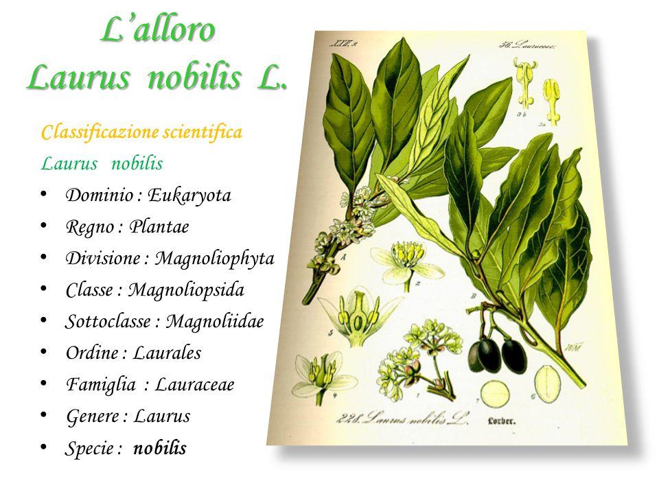 L'alloro Laurus nobilis L. Classificazione scientifica Laurus nobilis D ominio : Eukaryota R egno : Plantae D ivisione : Magnoliophyta C lasse : Magno