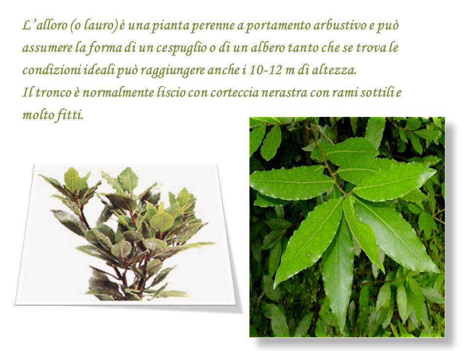 L'alloro (o lauro) è una pianta perenne a portamento arbustivo e può assumere la forma di un cespuglio o di un albero tanto che se trova le condizioni