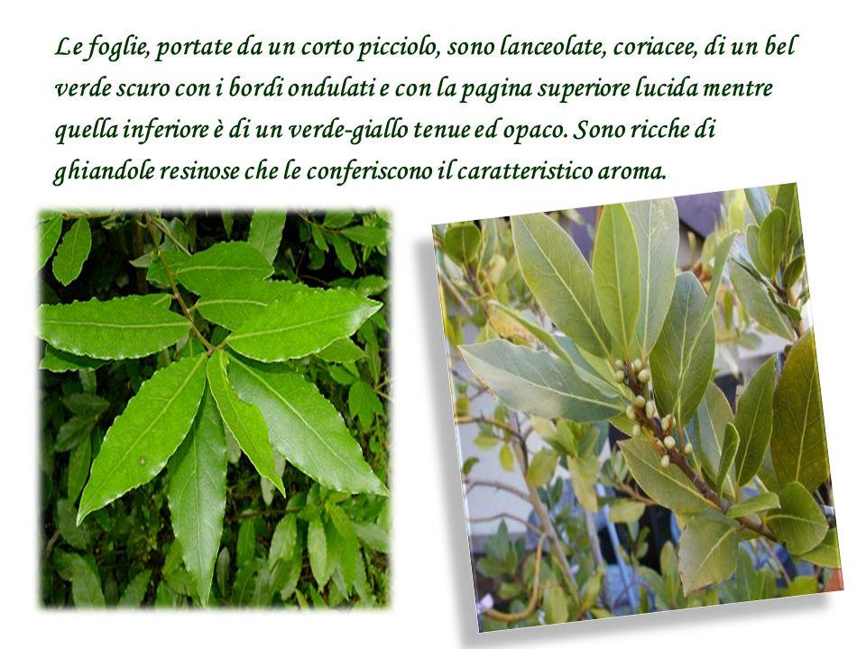 Le foglie, portate da un corto picciolo, sono lanceolate, coriacee, di un bel verde scuro con i bordi ondulati e con la pagina superiore lucida mentre