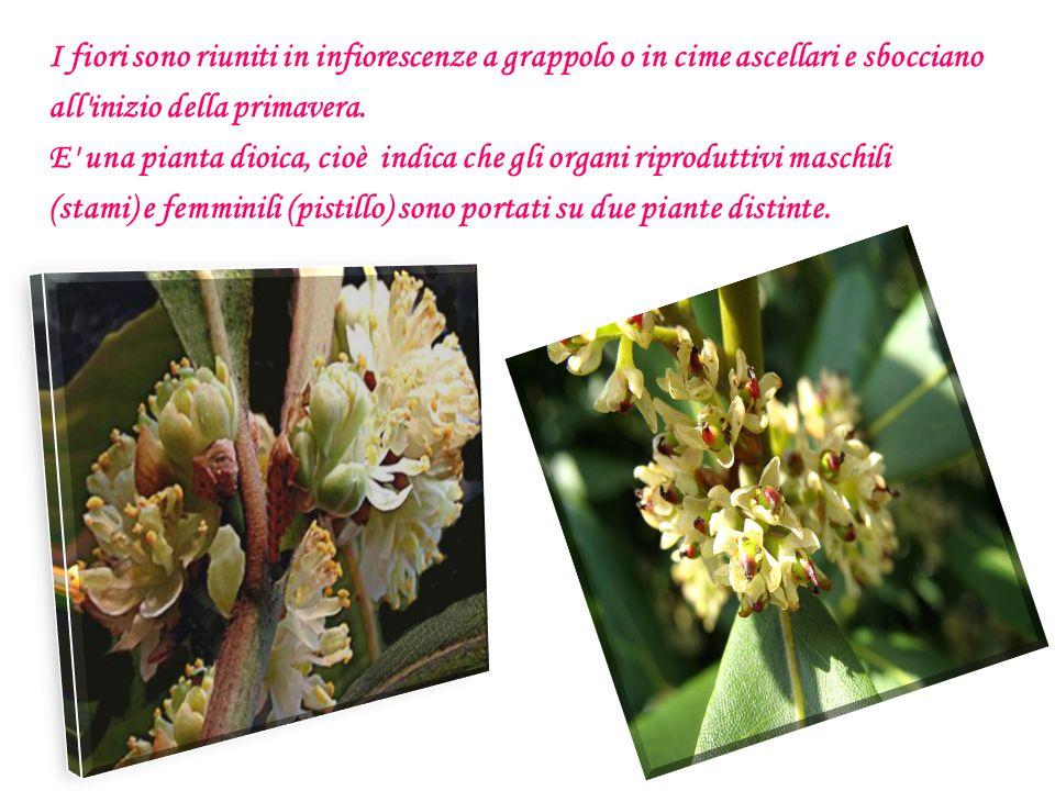 I fiori sono riuniti in infiorescenze a grappolo o in cime ascellari e sbocciano all'inizio della primavera. E' una pianta dioica, cioè indica che gli