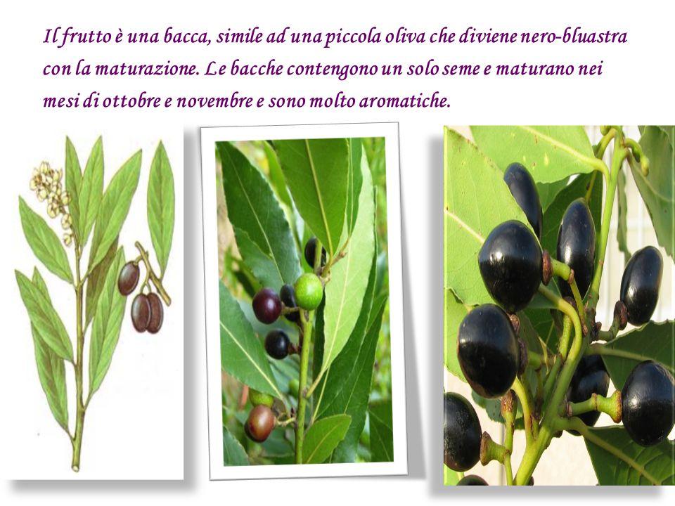 Il frutto è una bacca, simile ad una piccola oliva che diviene nero-bluastra con la maturazione. Le bacche contengono un solo seme e maturano nei mesi