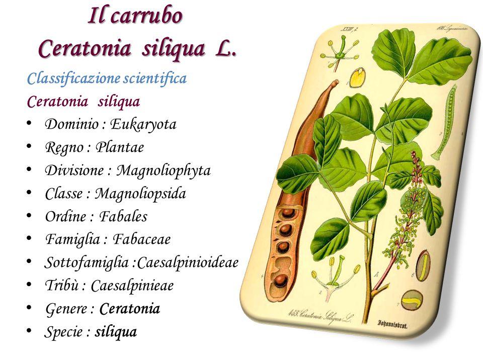 Il carrubo Ceratonia siliqua L. Classificazione scientifica Ceratonia siliqua D ominio : Eukaryota R egno : Plantae D ivisione : Magnoliophyta C lasse