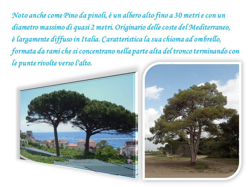 Noto anche come Pino da pinoli, è un albero alto fino a 30 metri e con un diametro massimo di quasi 2 metri. Originario delle coste del Mediterraneo,