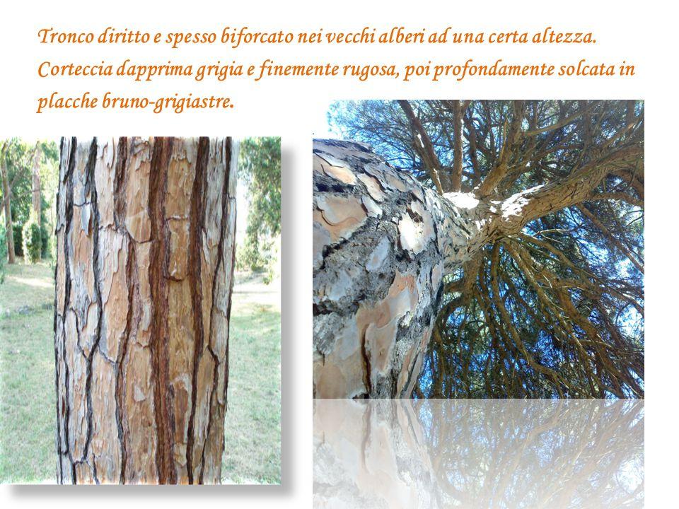 Tronco diritto e spesso biforcato nei vecchi alberi ad una certa altezza. Corteccia dapprima grigia e finemente rugosa, poi profondamente solcata in p