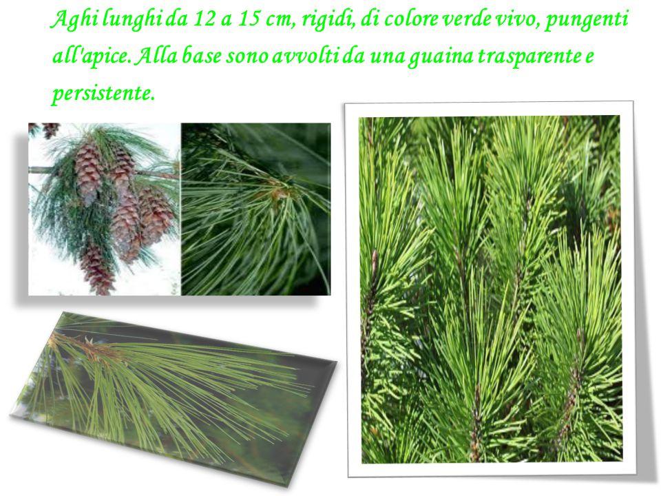 Aghi lunghi da 12 a 15 cm, rigidi, di colore verde vivo, pungenti all'apice. Alla base sono avvolti da una guaina trasparente e persistente.