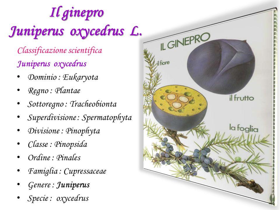 Il ginepro Juniperus oxycedrus L. Classificazione scientifica Juniperus oxycedrus D ominio : Eukaryota R egno : Plantae S ottoregno : Tracheobionta S