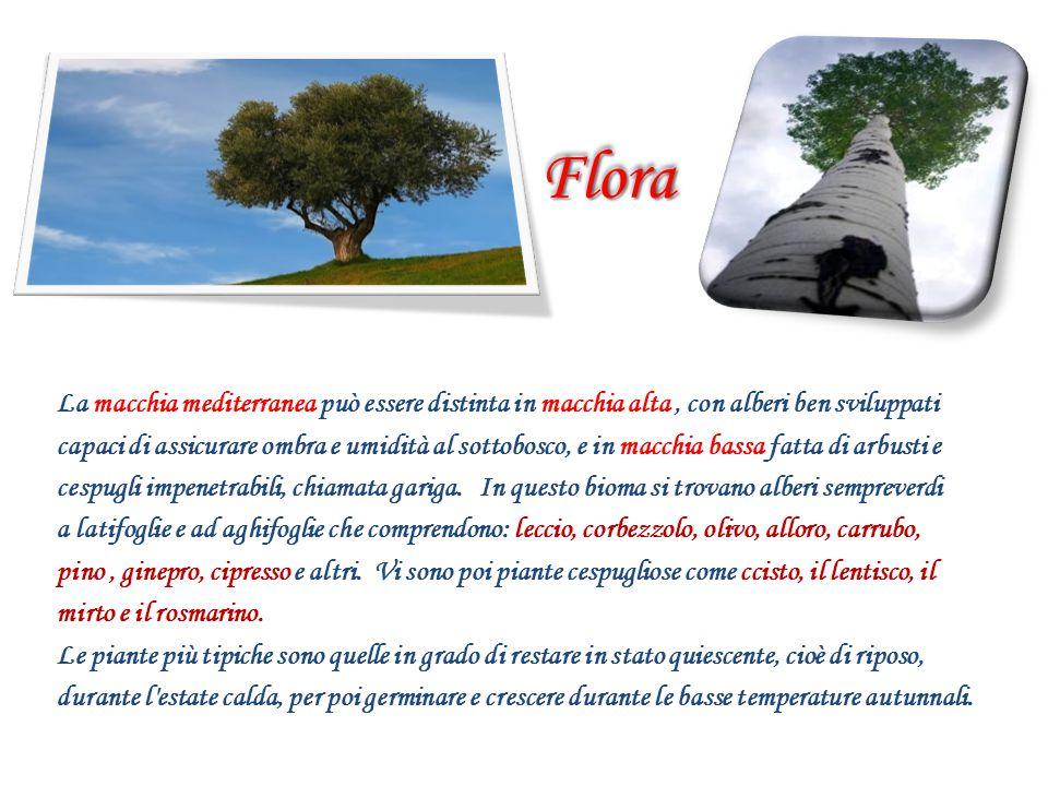FloraFlora La macchia mediterranea può essere distinta in macchia alta, con alberi ben sviluppati capaci di assicurare ombra e umidità al sottobosco,