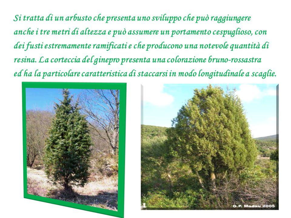 Si tratta di un arbusto che presenta uno sviluppo che può raggiungere anche i tre metri di altezza e può assumere un portamento cespuglioso, con dei f