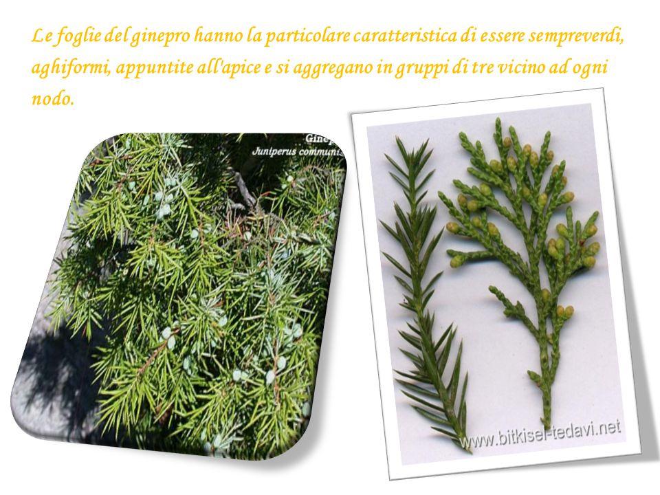 Le foglie del ginepro hanno la particolare caratteristica di essere sempreverdi, aghiformi, appuntite all'apice e si aggregano in gruppi di tre vicino