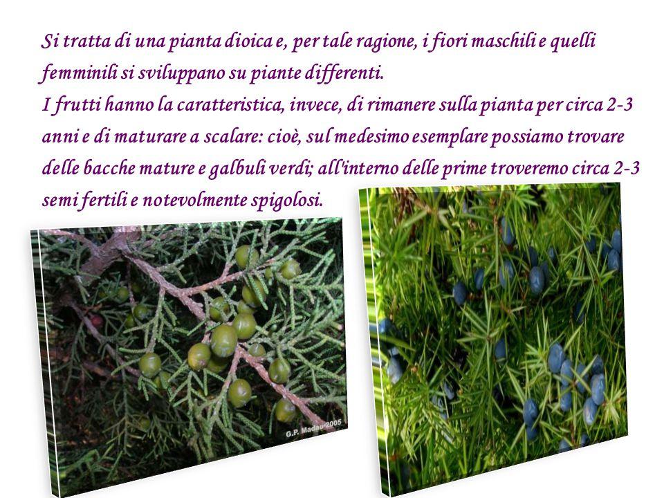 Si tratta di una pianta dioica e, per tale ragione, i fiori maschili e quelli femminili si sviluppano su piante differenti. I frutti hanno la caratter