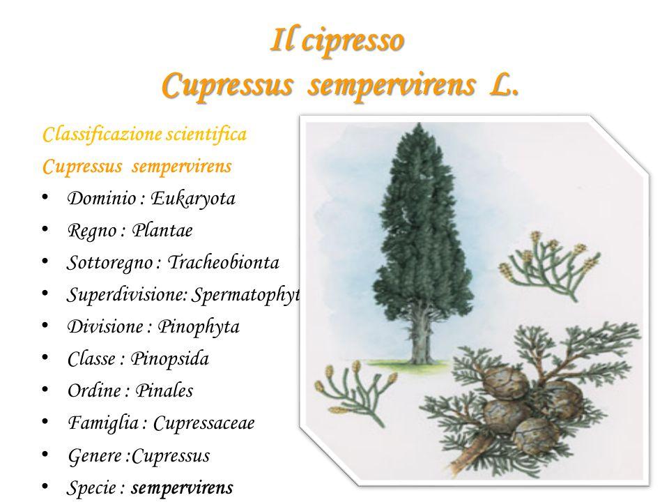 Il cipresso Cupressus sempervirens L. Classificazione scientifica Cupressus sempervirens Dominio : Eukaryota Regno : Plantae Sottoregno : Tracheobiont