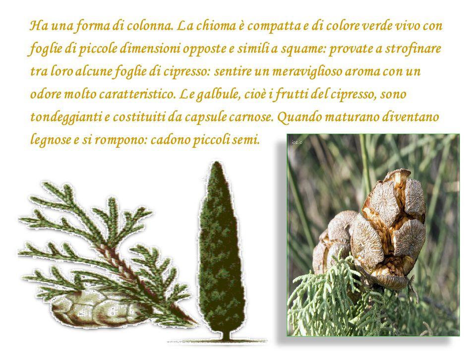 Ha una forma di colonna. La chioma è compatta e di colore verde vivo con foglie di piccole dimensioni opposte e simili a squame: provate a strofinare