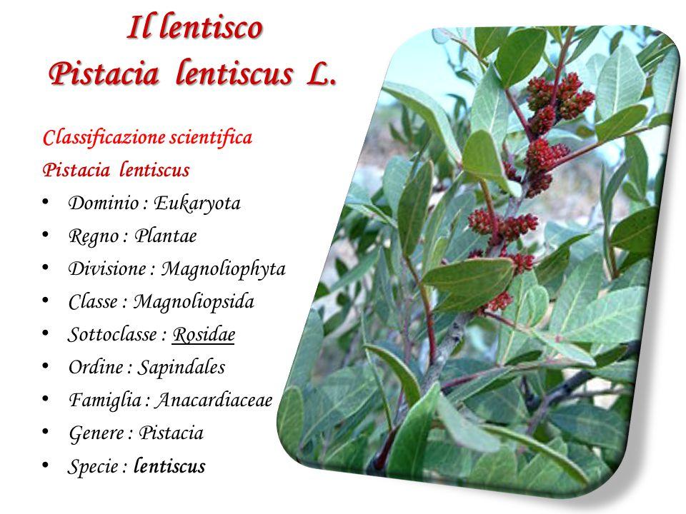 Il lentisco Pistacia lentiscus L. Classificazione scientifica Pistacia lentiscus D ominio : Eukaryota R egno : Plantae D ivisione : Magnoliophyta C la