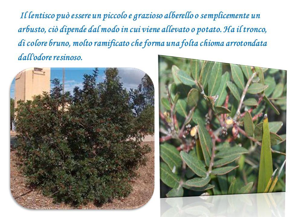 Il lentisco può essere un piccolo e grazioso alberello o semplicemente un arbusto, ciò dipende dal modo in cui viene allevato o potato. Ha il tronco,