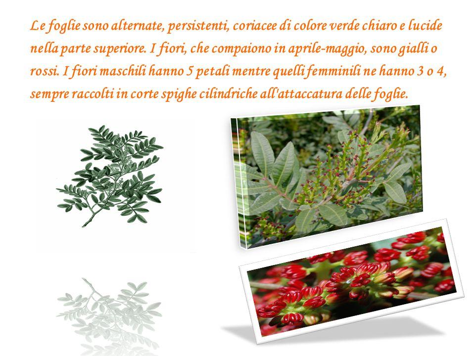Le foglie sono alternate, persistenti, coriacee di colore verde chiaro e lucide nella parte superiore. I fiori, che compaiono in aprile-maggio, sono g