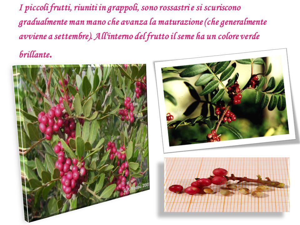 I piccoli frutti, riuniti in grappoli, sono rossastri e si scuriscono gradualmente man mano che avanza la maturazione (che generalmente avviene a sett