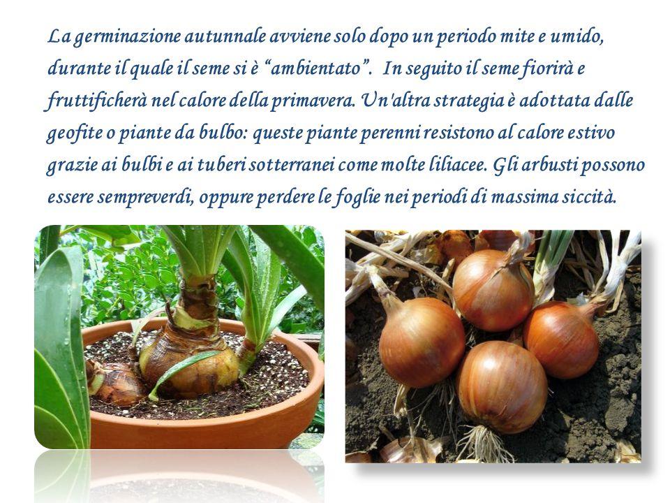 La germinazione autunnale avviene solo dopo un periodo mite e umido, durante il quale il seme si è ambientato .