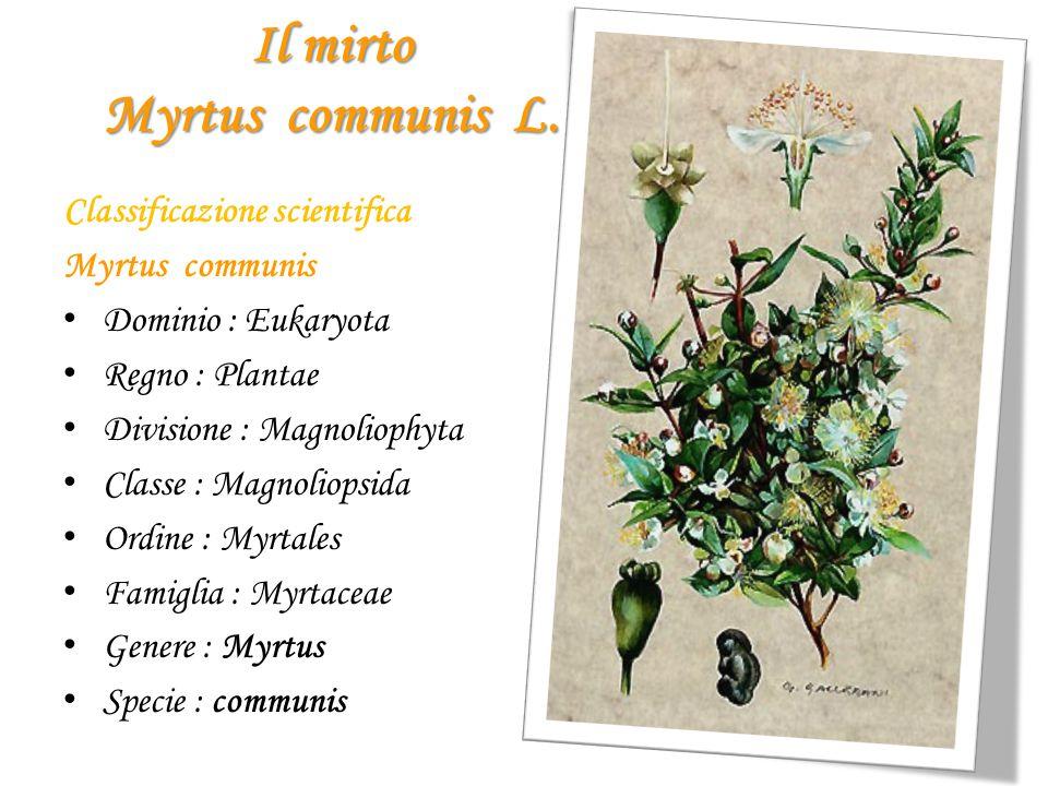 Il mirto Myrtus communis L. Classificazione scientifica Myrtus communis D ominio : Eukaryota R egno : Plantae D ivisione : Magnoliophyta C lasse : Mag