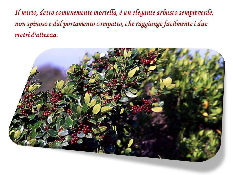 Il mirto, detto comunemente mortella, è un elegante arbusto sempreverde, non spinoso e dal portamento compatto, che raggiunge facilmente i due metri d altezza.