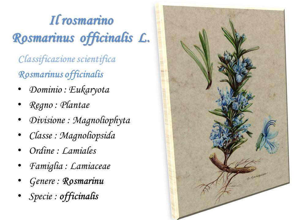Il rosmarino Rosmarinus officinalis L. Classificazione scientifica Rosmarinus officinalis D ominio : Eukaryota R egno : Plantae D ivisione : Magnoliop