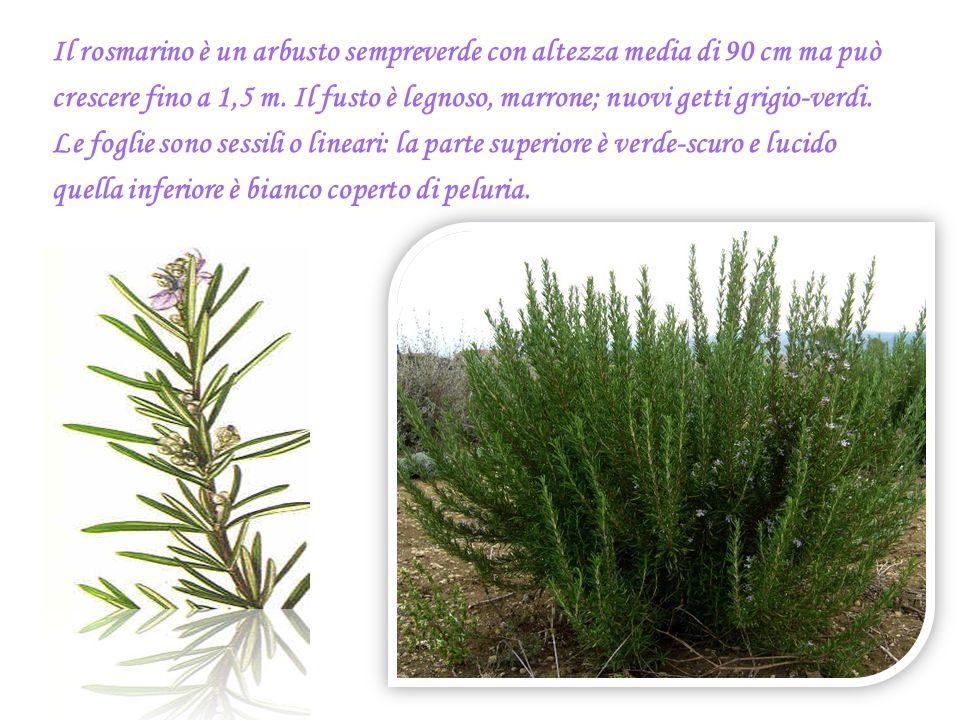 Il rosmarino è un arbusto sempreverde con altezza media di 90 cm ma può crescere fino a 1,5 m. Il fusto è legnoso, marrone; nuovi getti grigio-verdi.