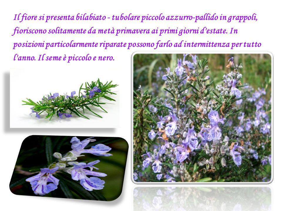 Il fiore si presenta bilabiato - tubolare piccolo azzurro-pallido in grappoli, fioriscono solitamente da metà primavera ai primi giorni d estate.