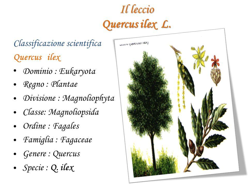 Il leccio Quercus ilex L. Classificazione scientifica Quercus ilex D ominio : Eukaryota R egno : Plantae D ivisione : Magnoliophyta C lasse: Magnoliop