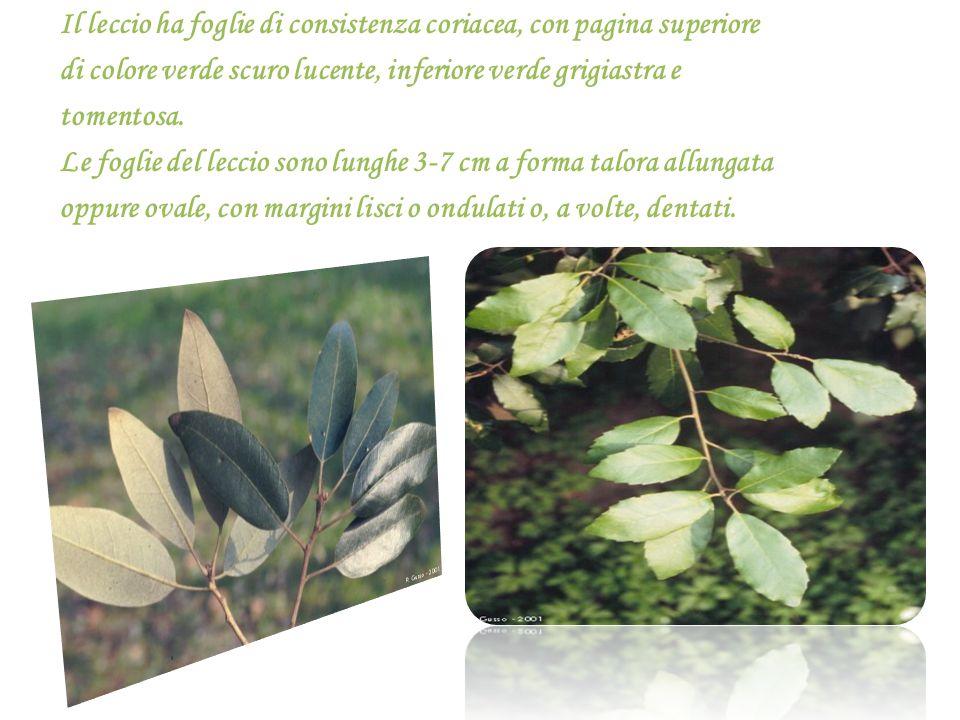 Il leccio ha foglie di consistenza coriacea, con pagina superiore di colore verde scuro lucente, inferiore verde grigiastra e tomentosa. Le foglie del