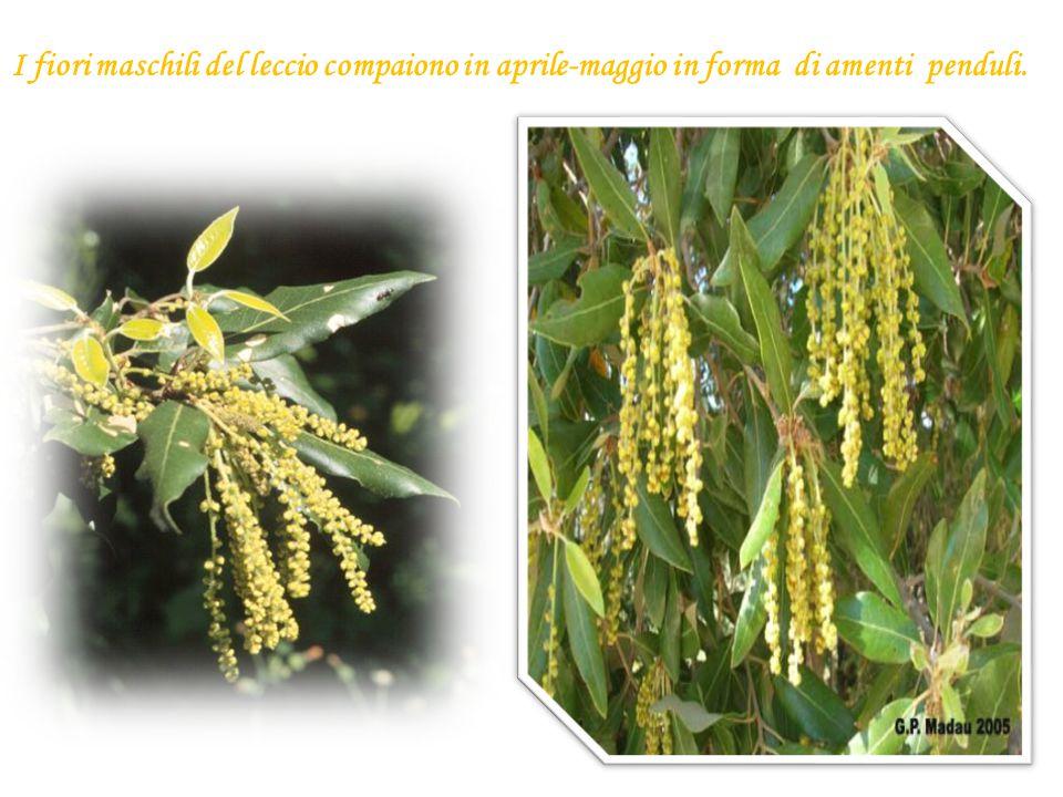 I fiori maschili del leccio compaiono in aprile-maggio in forma di amenti penduli.