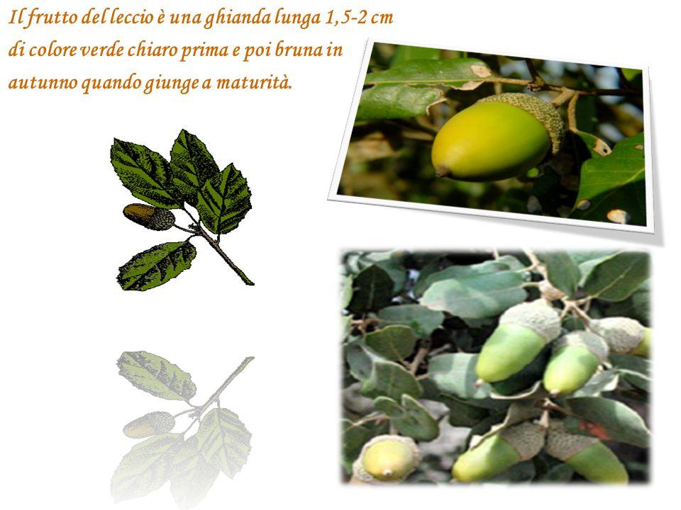 Il frutto del leccio è una ghianda lunga 1,5-2 cm di colore verde chiaro prima e poi bruna in autunno quando giunge a maturità.