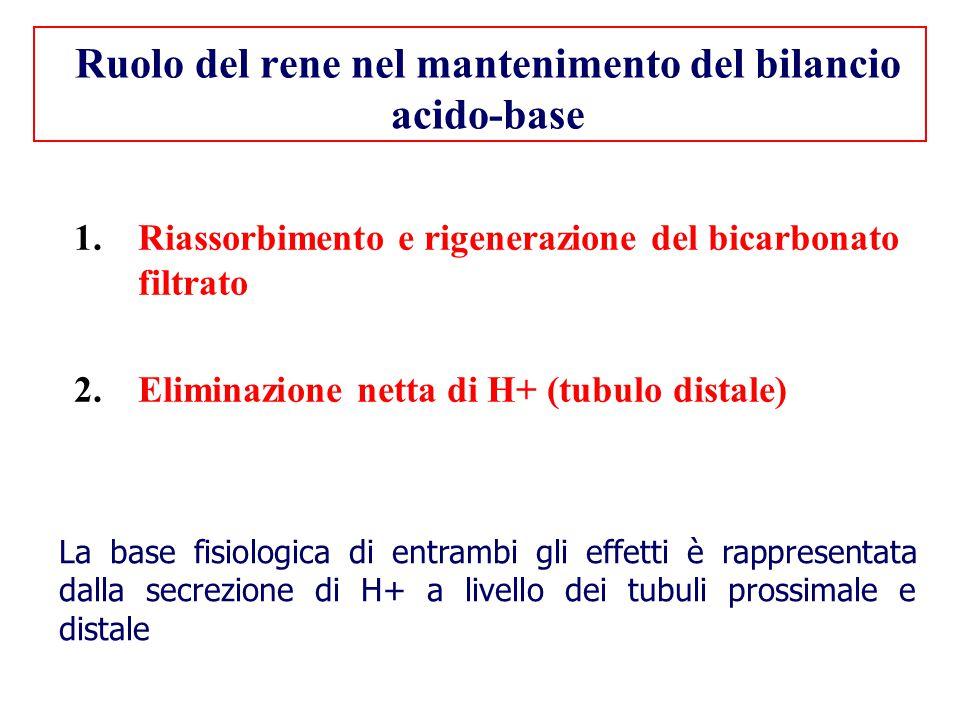 Ruolo del rene nel mantenimento del bilancio acido-base 1.Riassorbimento e rigenerazione del bicarbonato filtrato 2.Eliminazione netta di H+ (tubulo d