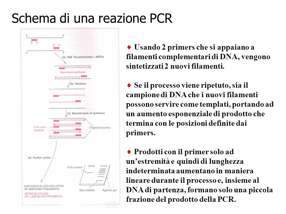 Schema di una reazione PCR  Usando 2 primers che si appaiano a filamenti complementari di DNA, vengono sintetizzati 2 nuovi filamenti.  Se il proces