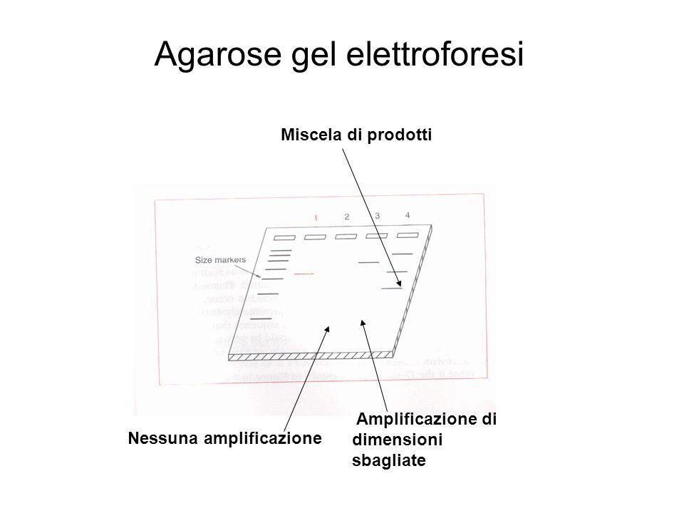 Nessuna amplificazione Amplificazione di dimensioni sbagliate Miscela di prodotti Agarose gel elettroforesi