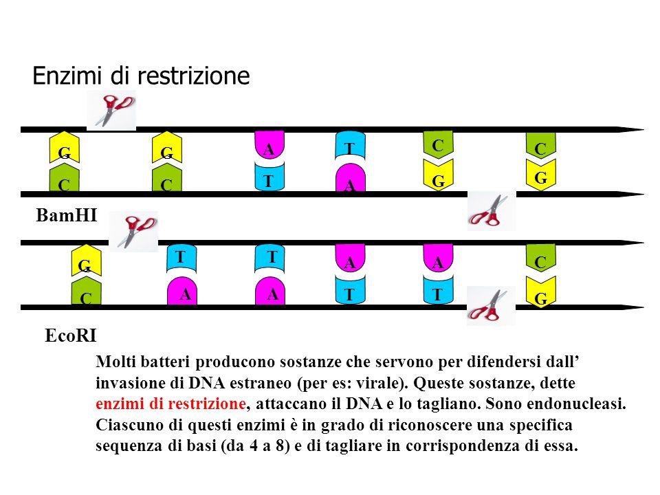 Enzimi di restrizione G G G C G C C C BamHI T T A A G G AA AA TT TT G C C EcoRI Molti batteri producono sostanze che servono per difendersi dall' inva