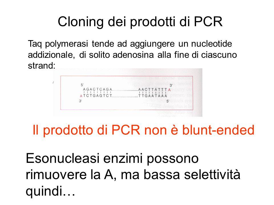 Cloning dei prodotti di PCR Taq polymerasi tende ad aggiungere un nucleotide addizionale, di solito adenosina alla fine di ciascuno strand: Il prodott