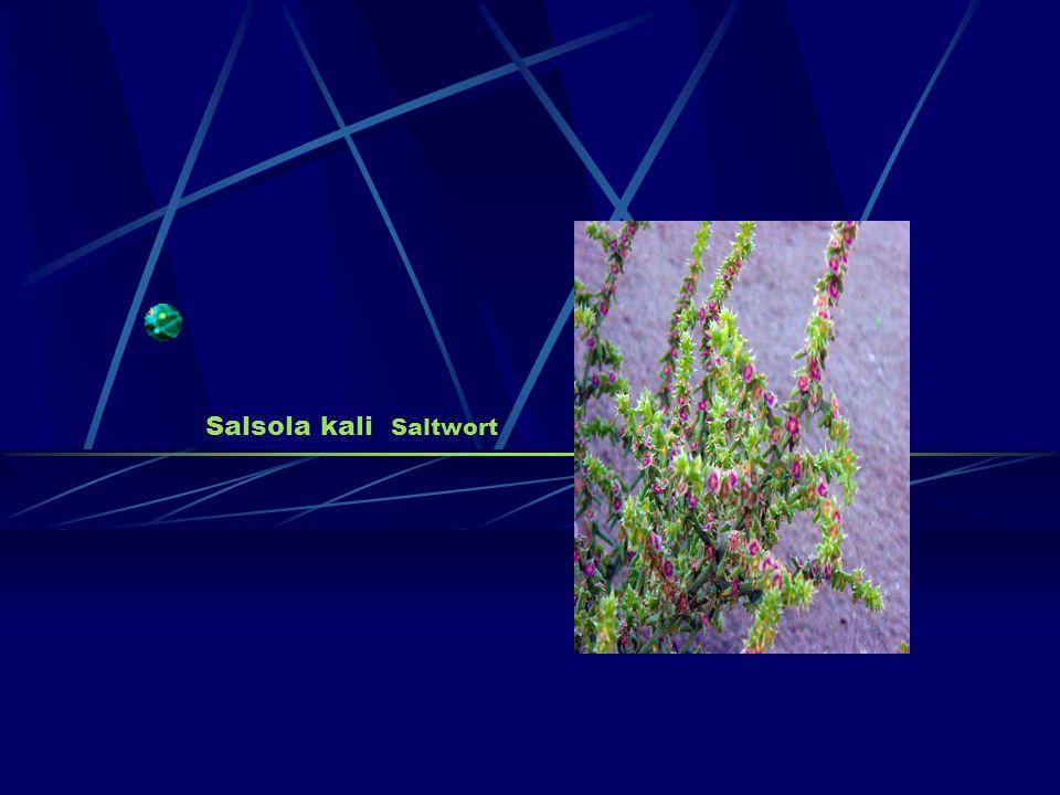 Salsola kali Saltwort