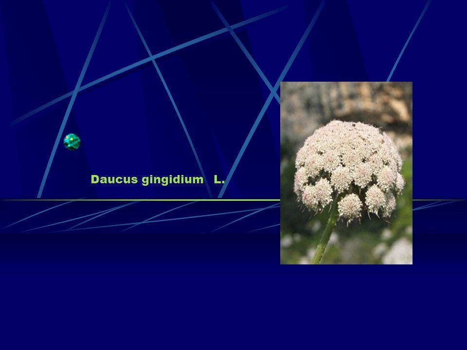 Daucus gingidium L.