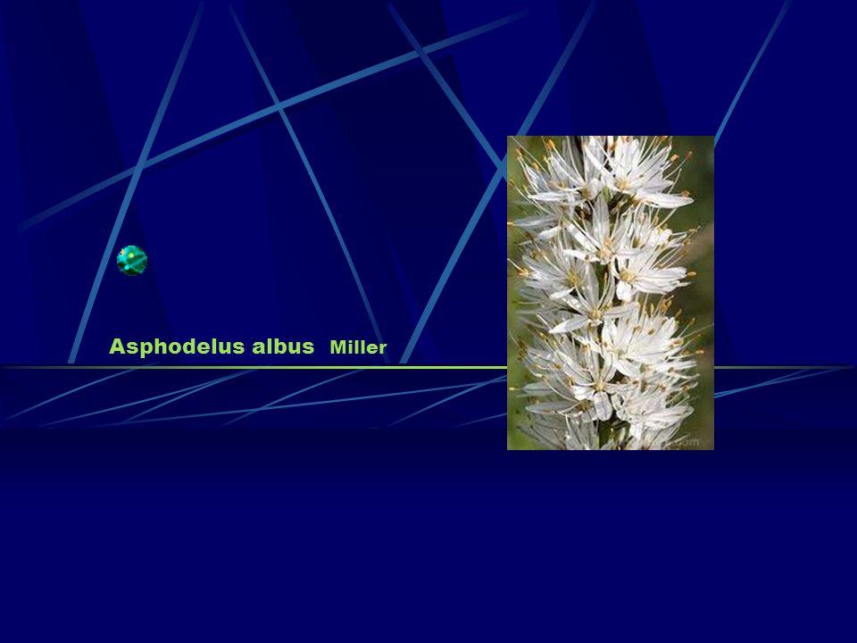 Asphodelus albus Miller
