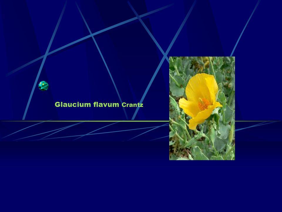 Glaucium flavum Crantz