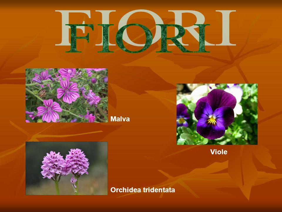 Malva Orchidea tridentata Viole