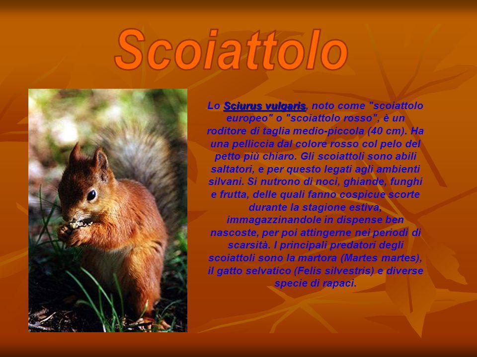 Sciurus vulgaris Lo Sciurus vulgaris, noto come