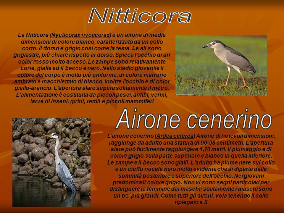 La Nitticora (Nycticorax nycticorax) è un airone di medie dimensioni di colore bianco, caratterizzato da un collo corto. Il dorso è grigio così come l