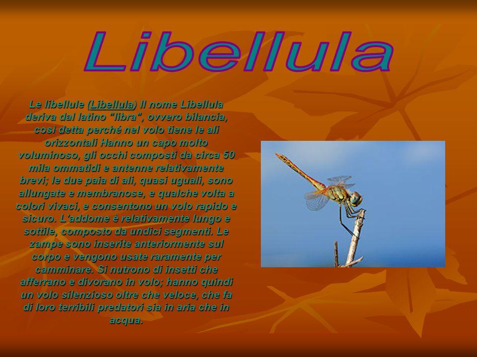 Le libellule (Libellula) Il nome Libellula deriva dal latino