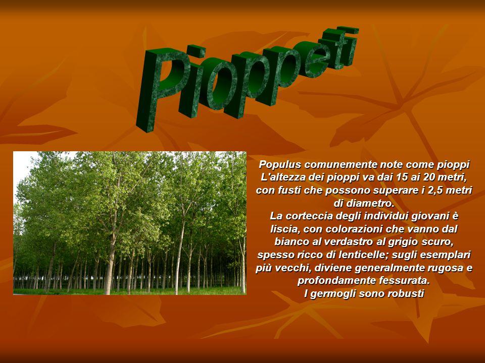 Populus comunemente note come pioppi L'altezza dei pioppi va dai 15 ai 20 metri, con fusti che possono superare i 2,5 metri di diametro. La corteccia