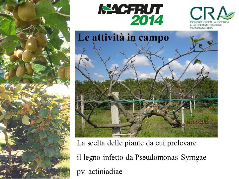 La scelta delle piante da cui prelevare il legno infetto da Pseudomonas Syrngae pv. actiniadiae Le attività in campo
