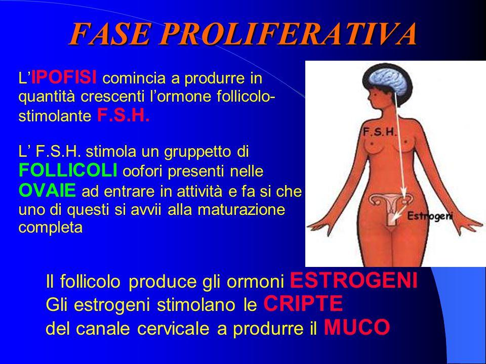 FASE PROLIFERATIVA L' IPOFISI comincia a produrre in quantità crescenti l'ormone follicolo- stimolante F.S.H.